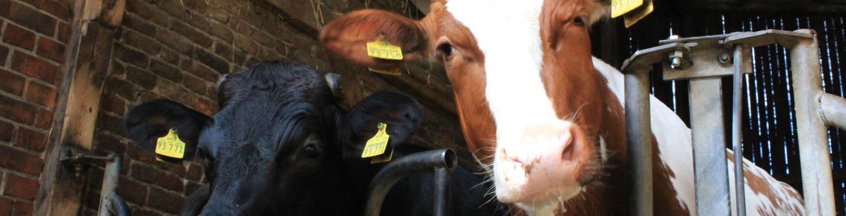 Melkhus Ardestorf - Bauernhof-Führungen - Kühe